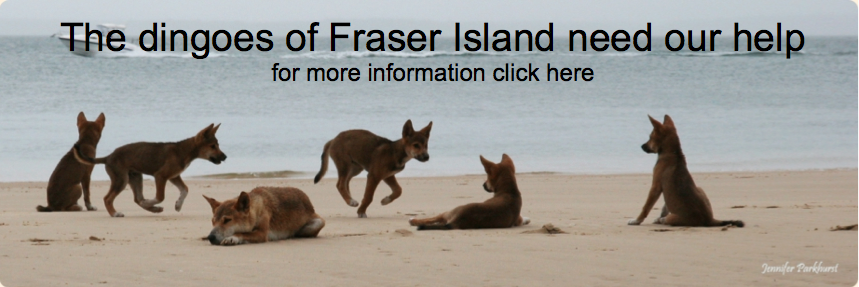 Fraser Island dingoes need your help